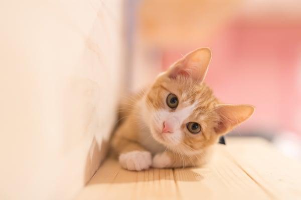 Cute-Kitten---AdobeStock_182253513