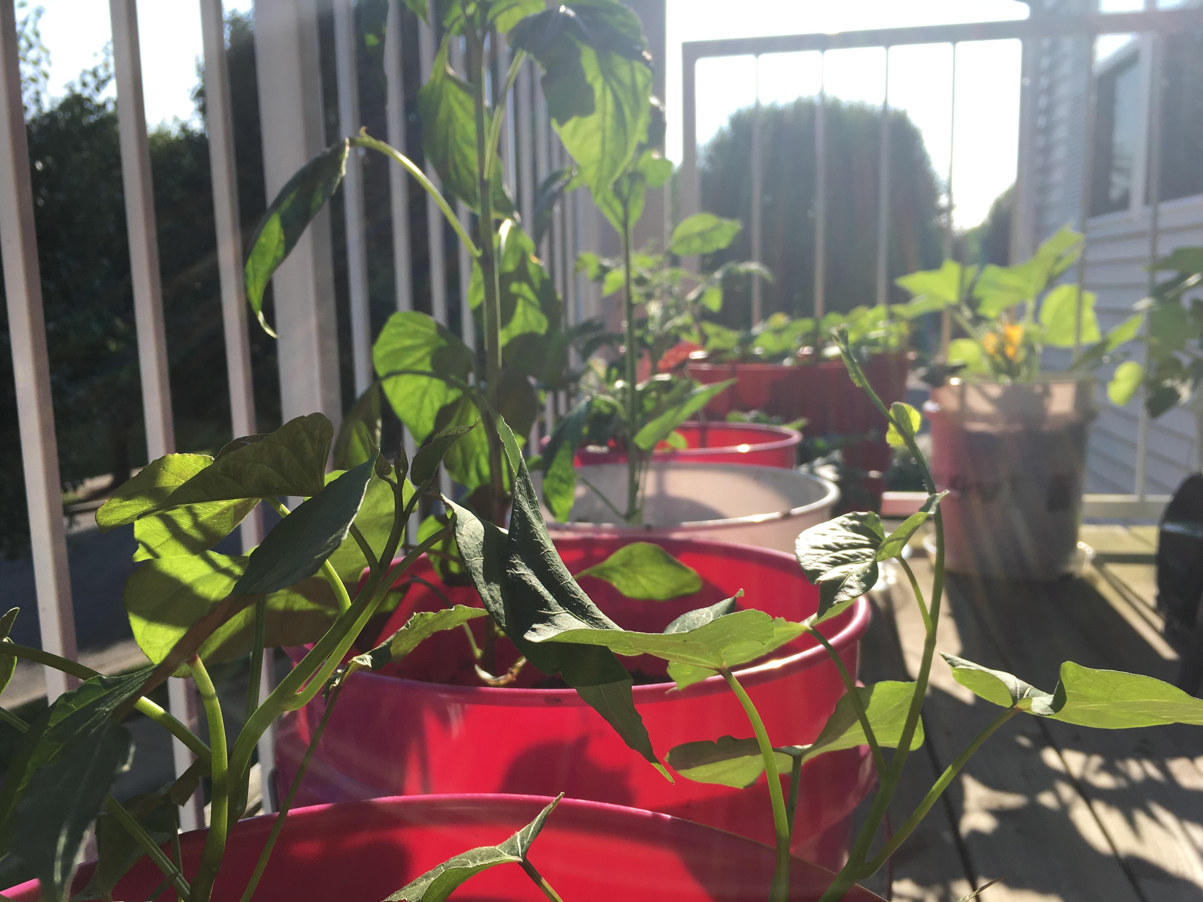 Container Garden Vines growing!
