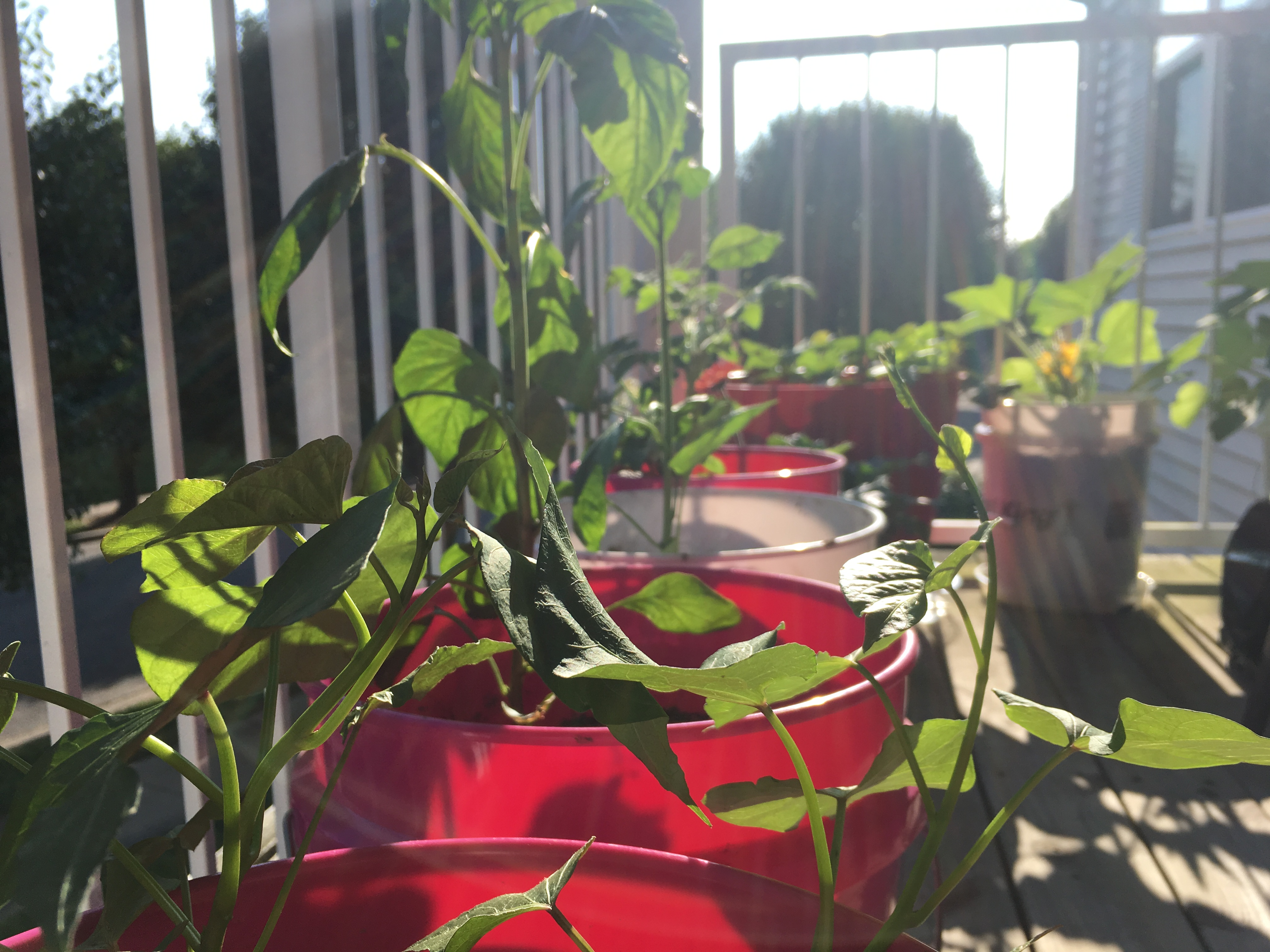 Container Garden Vines growing!